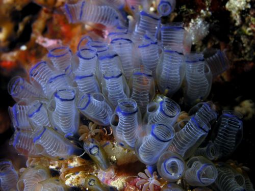 Sea squirt or tunicate, from Wikimedia Commons, photo by Nick Hobgood