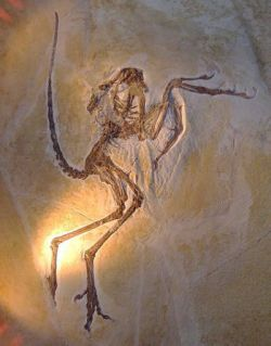 Archaeopteryx, one of many specimens; this one found at Solenhofer