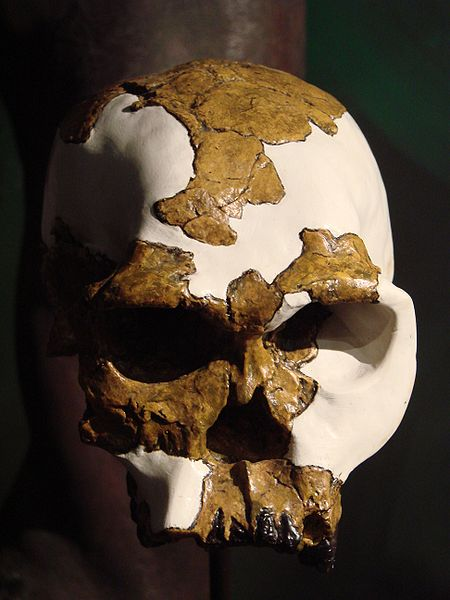 Homo habilis skull on display at the University of Zurich