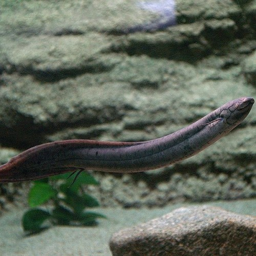 Lepidosiren paradoxa; Charles Darwin called this a living fossil, an air-breathing fish commonly called the lungfish