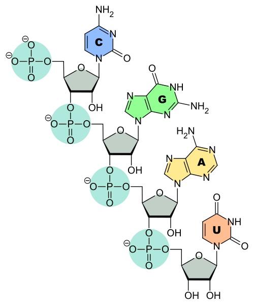 RNA structure diagram