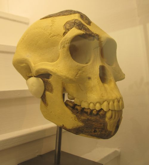 Australopithecus afarensis skull, Lucy's species, ancestor of man