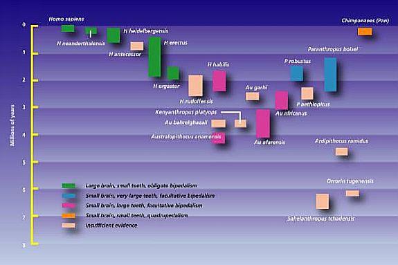 Human evolution timeline chart
