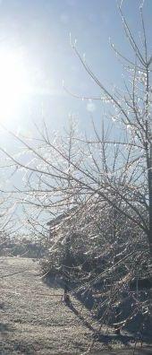 Rose Creek Village tree in ice at sunrise