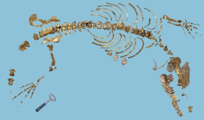 Ambulocetus skeleton first described in 1994 by Dr. Hans Thewissen