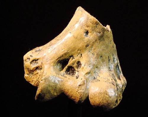 Australopithecus anamensis bone from University of Zurich