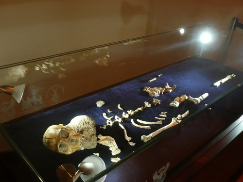 Australopithecus sediba skeleton on display