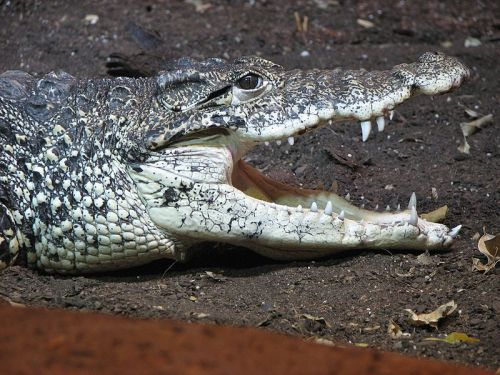 Cuban crocodile: Crocodylus rhombifer