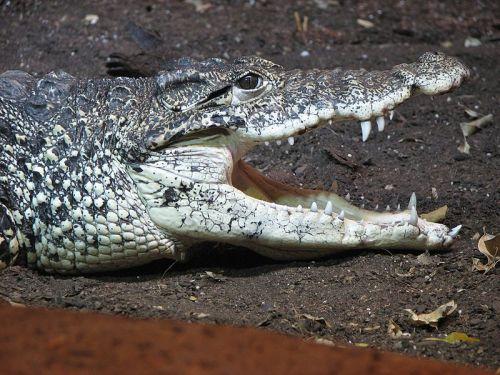 Cuban crocodile: Crocodylus rhombifer