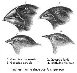 Charles Darwin's drawings of different finches from the Galapagos Archipelago