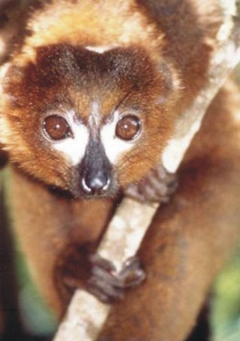 Eulemur rubriventer, red-bellied lemur