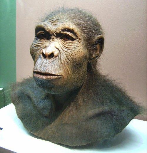 H. habilis reconstruction from Westfälisches Museum für Archäologie