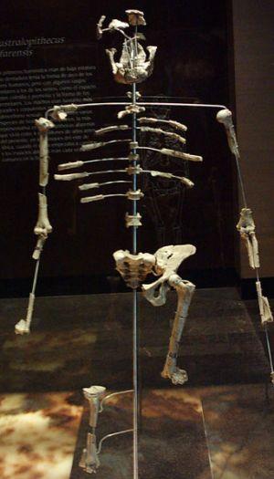 Lucy's skeleton bones