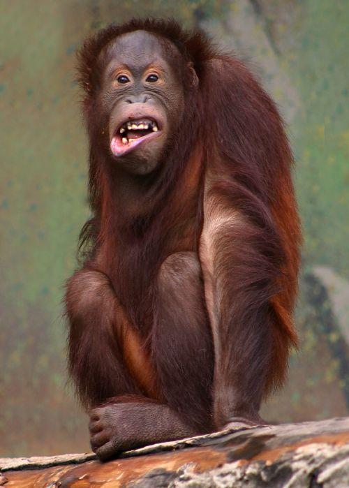 Orangutan by Malene Thyssen