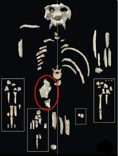 Pierolapithecus catalaunicus fossil from Univ. of Missouri, public domain