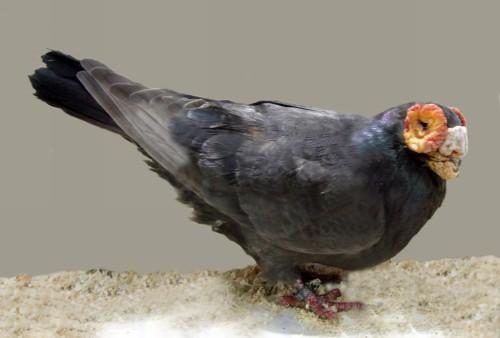 Black Barb Pigeon by Jim Gifford