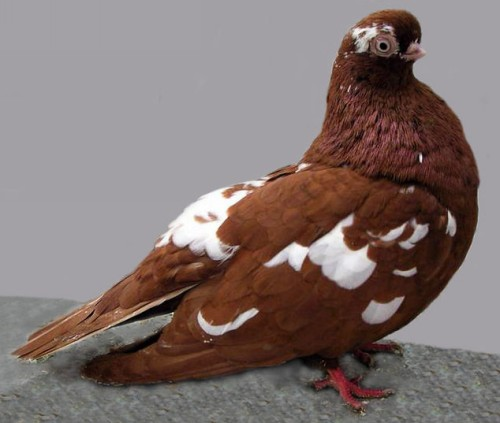 English Short Faced Tumbler Pigeon by Jim Gifford