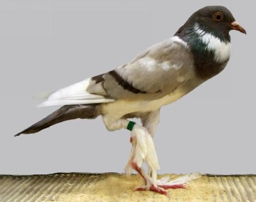 Pigmy Pouter Pigeon by Jim Gifford