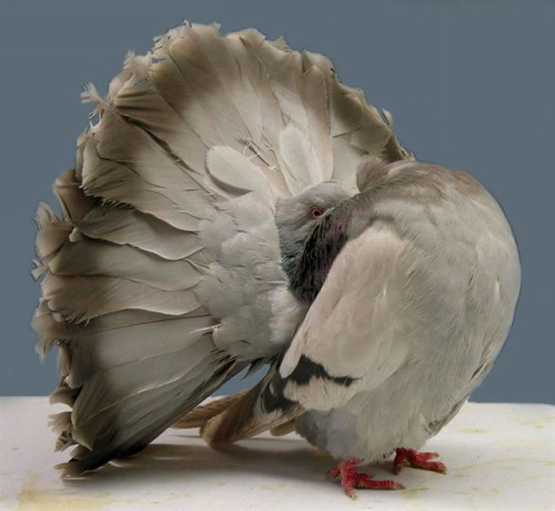 Silver Barred Fantail Pigeon by Jim Gifford