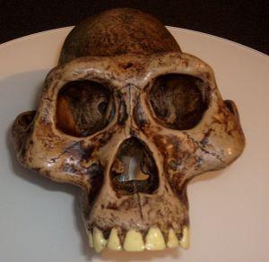 Reconstruction of Austrolopithecus afarensis skull