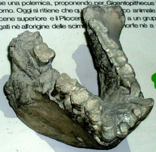 Gigantopithecus blackii jawbone